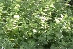 Мелисса лекарственная трава