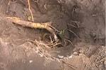 Шелковица корень