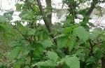 Вяз веточки, листья