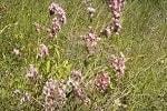 Душица обыкновенная трава