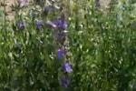 Иссоп трава