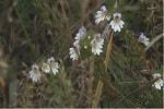 Очанка трава