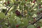 Боярышник плоды
