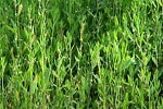 Спорыш, горец птичий, трава