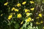 Арника горная, трава