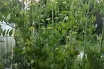 Любисток корень, 25 гр