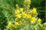 Вербейник трава