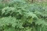 Болиголов пятнистый трава