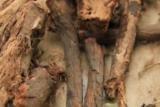 Красный корень-копеечник забытый, корень