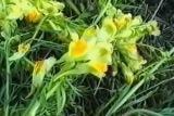 Льнянка обыкновенная, трава
