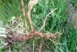 Цикорий корень