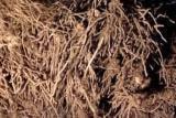 Полынь горькая, чернобыльник корень