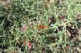 Верблюжья колючка, трава