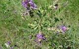 Люцерна полевая трава