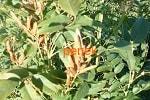 Солодка семена