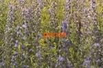 Синяк обыкновенный трава