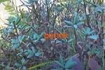 Саган-дайля листья, цветы