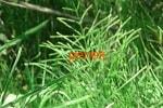 Хвощ полевой, трава