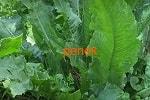 Щавель конский, листья, семена, корни