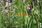 Чабрец трава
