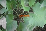 Мать-и-мачеха, листья