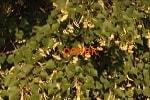 Липа цвет с листом
