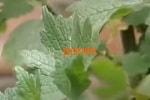 Пустырник трава