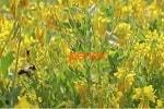 Донник трава