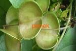 Диоскорея кавказская корень