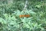 Витекс священный, авраамово дерево, плоды