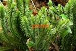 Баранец (плаун), трава