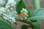 Пол-пола (эрва шерстистая), трава
