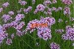 Вербена трава