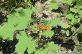 Дурнишник обыкновенный-колючий, корень