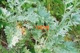 Полынь обыкновенная-чернобыльник, трава