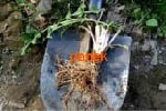 Одуванчик лекарственный корень