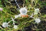 Синеголовник плосколистный-полевой трава