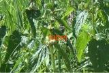 Яснотка белая-крапива глухая, трава