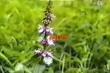 Чистец болотный трава