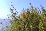 Тростник речной, трава