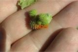 Дурнишника обыкновенного семена-плоды