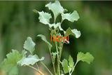 Дурнишника обыкновенного трава