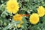 Одуванчик трава