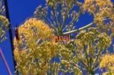 Ферула джунгарская - омик корень