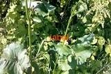 Щавель конский плоды, семена
