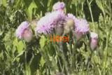 Бодяк розовый трава