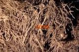 Полынь обыкновенная, чернобыльник корень