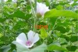 Алтей трава, цветки
