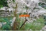 Тамарикс, веточки, цветки