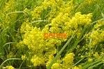 Подмаренник настоящий желтый трава